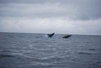 Whale - Big Blue Fisheries - Sitka, Alaska
