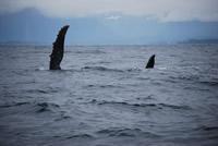 Whale 14- Big Blue Fisheries - Sitka, Alaska