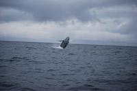 Whale 8- Big Blue Fisheries - Sitka, Alaska