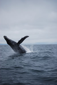 Whale 11- Big Blue Fisheries - Sitka, Alaska