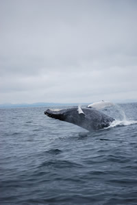 Whale 12- Big Blue Fisheries - Sitka, Alaska