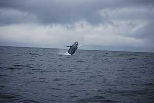 alaska_whale_1