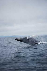 alaska_whale_2